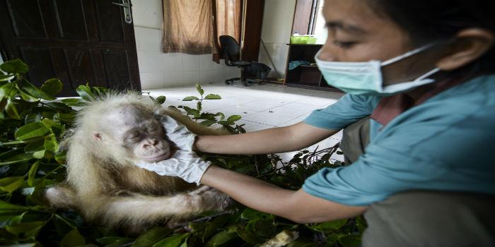Orangutana 1