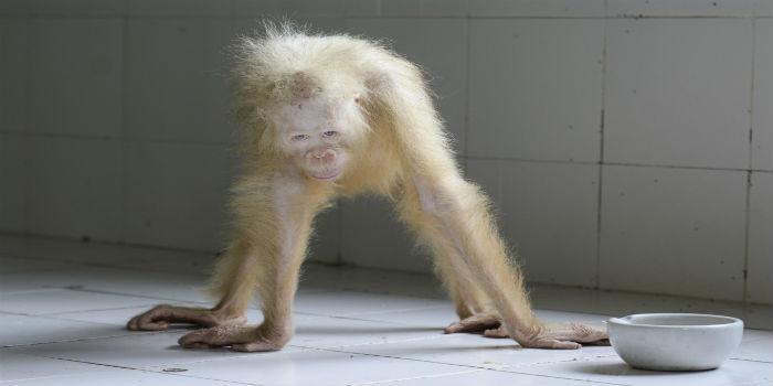 Orangutana 2